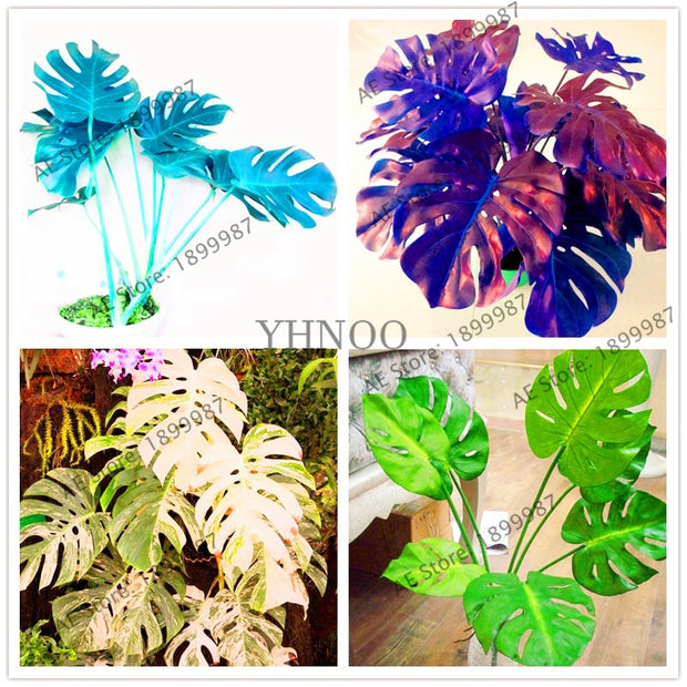 107 pcs/bag Palm Tree Turtle flores.perennial bonsai flower plantas,Garden Novel Plants Anti-Radiation,monstera ceriman