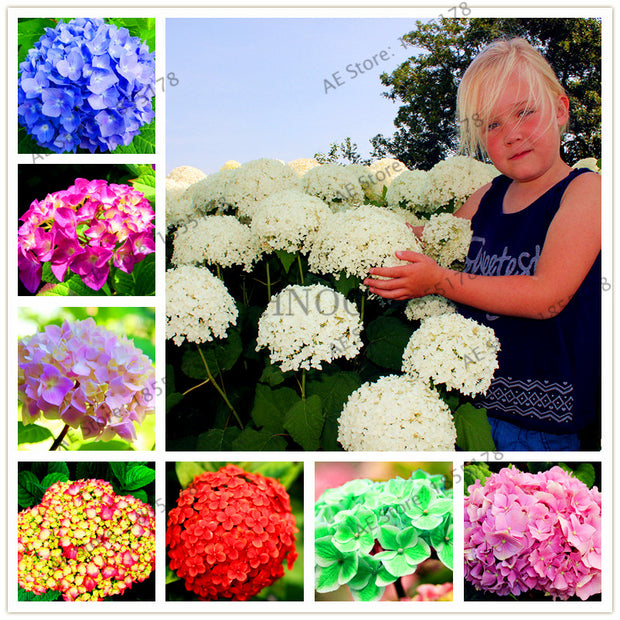 Big sale! 20pcs/bag Hydrangea bonsai perennial flower flores for wedding party plant for home and garden 16 colors