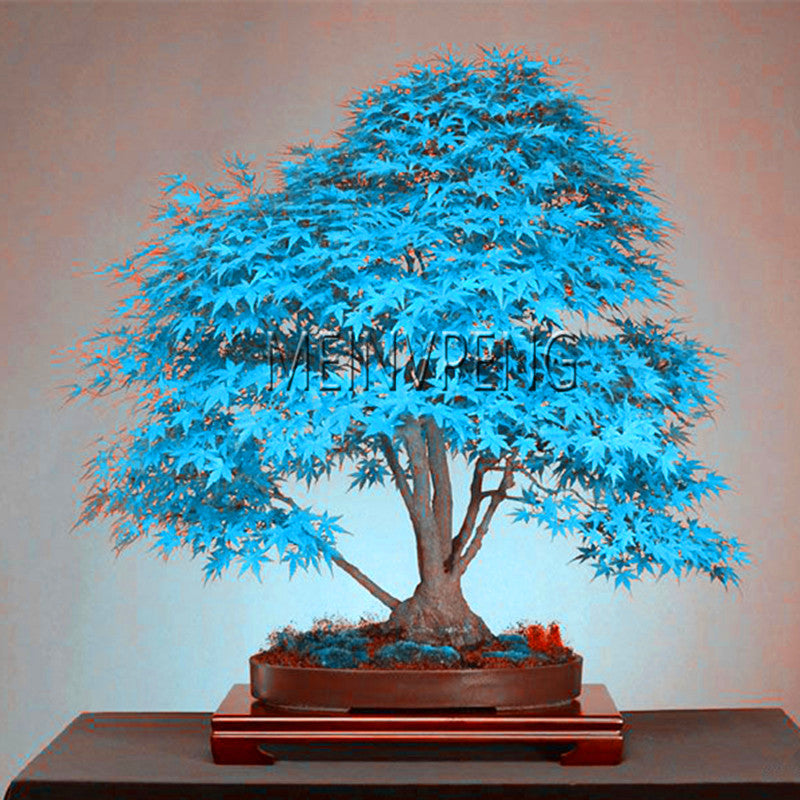 Best-Selling!blue maple tree bonsai Bonsai tree plants. rare sky blue japanese maple Balcony plants for home garden,50flores