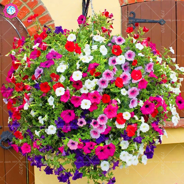 200pcs Hanging Petunia ,Bonsai petunia ,Rare Flower  Perennial indoor or outdoor potted plants for home garden