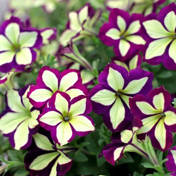 Petunia  Bonsai Flower  DIY Home Garden Very Beautifui Color Pot Plants 200PCS Perennial indoor flower plant
