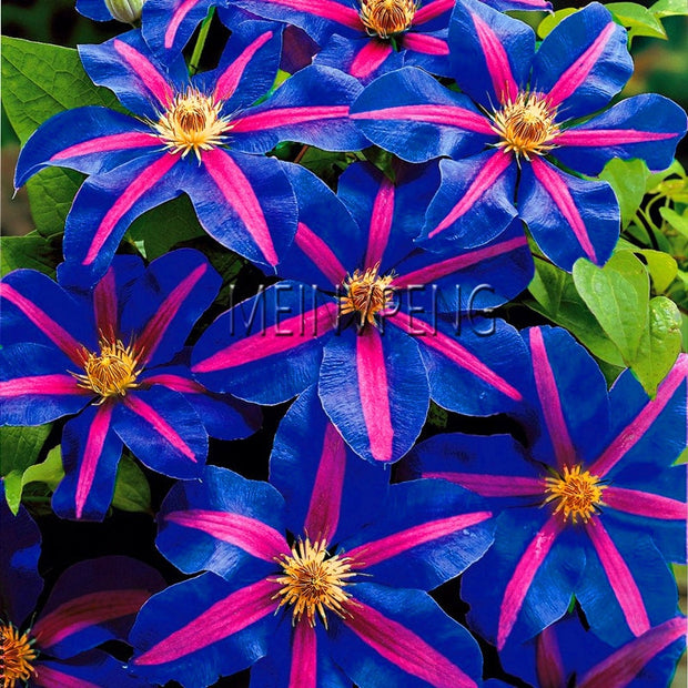 Big Promotion!100flores/bag climbing clematis bonsai,perennial courtyard bonsai flower plants for home garden,#JD4QG1