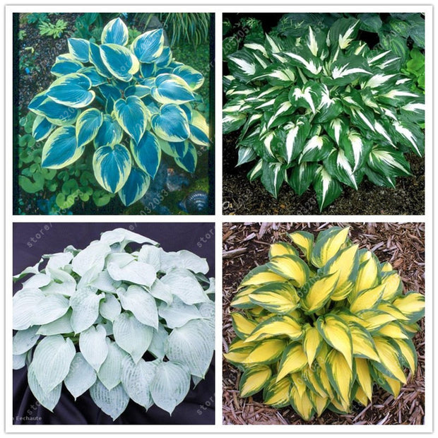 100 pcs/bag hosta  bonsai flower DIY for home garden plant pot perennial herb