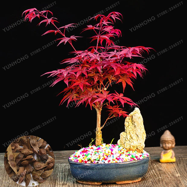 Potted Plant Bonsai 20 pcs 100% Real Acer Palmatum 'Atropurpureum' Red Maple Tree Bonsai Home Garden Potted plant