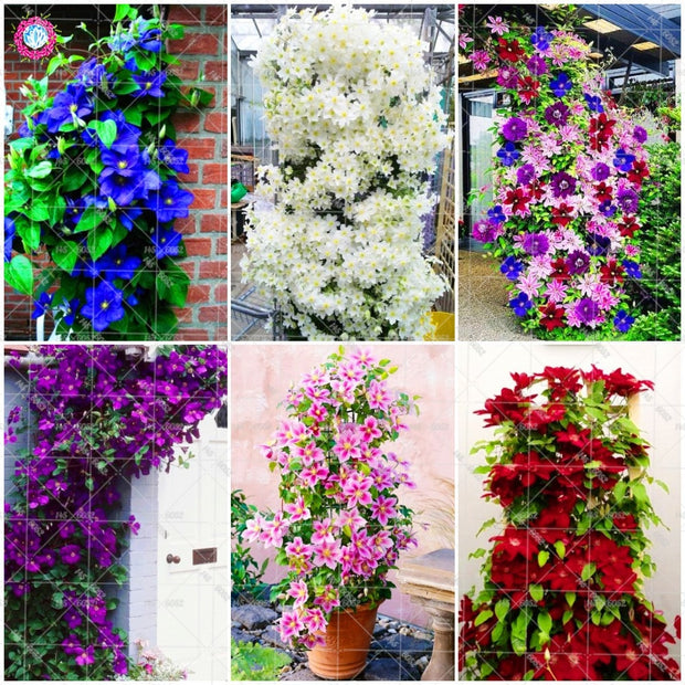 100pcs Climbing Clematis  (not bulb) Clematis florida bonsai flower  perennial flowering potted plants DIY home garden