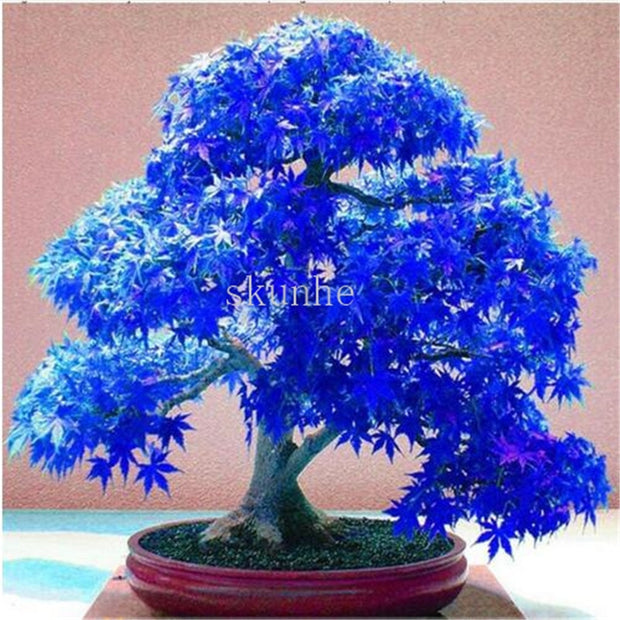 Real Japanese Ghost Blue Maple bonsais Rare Balcony Bonsai Tree plants for home garden 20 pcs Free Shipping