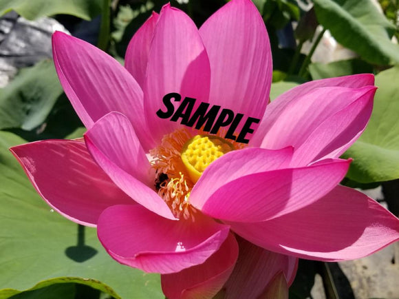 Assorted Pink Water Lotus - Sample Image