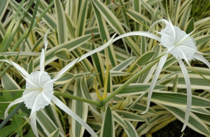 Variegated Spider Lily (Hymenocallis caribaea var.) - Tropical Pond Plants