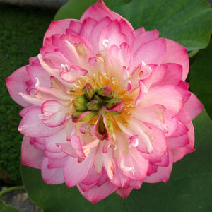 Birthday Peach - Pink and White Hardy Water Lotus