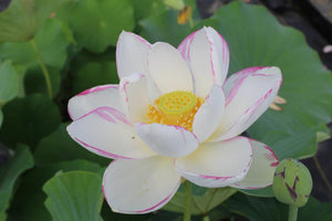 Empress - White Hardy Lotus with Purple Edging
