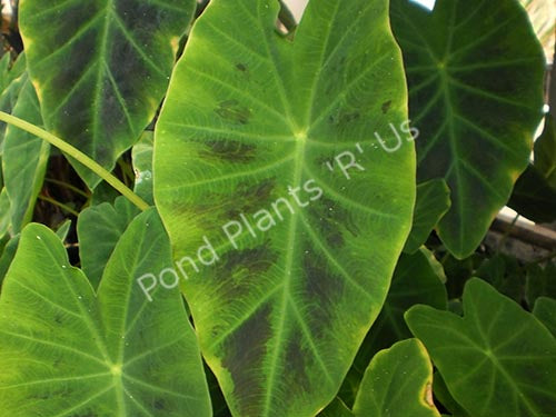 Imperial Taro (Colocasia antiquorum) - Tropical Pond Plant