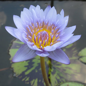 Nymphaea 'Leopardess' - Blue Tropical Water Lily