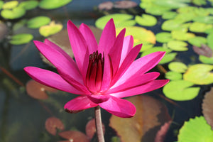 Nymphaea 'Red Cup' - Red Night Blooming Water Lily