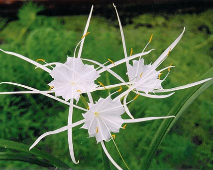 Spider Lily - Tropical Bog Plant
