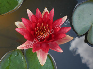 Nymphaea 'Steven Strawn' - Hardy Red Water Lily