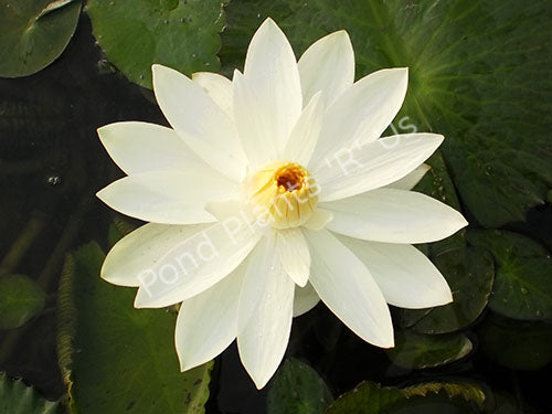 Trudy Slocum - White Tropical Night Blooming Water Lily