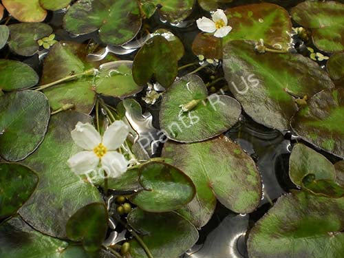 White Snowflake - Tropical Surface Pond Plant