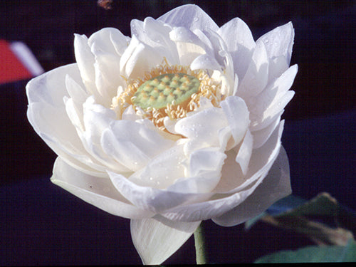 Asiatic Alba - Hardy Water Lotus
