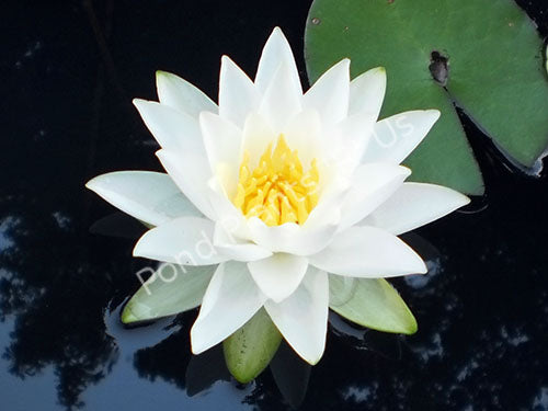 Albatros - White Hardy Water Lily