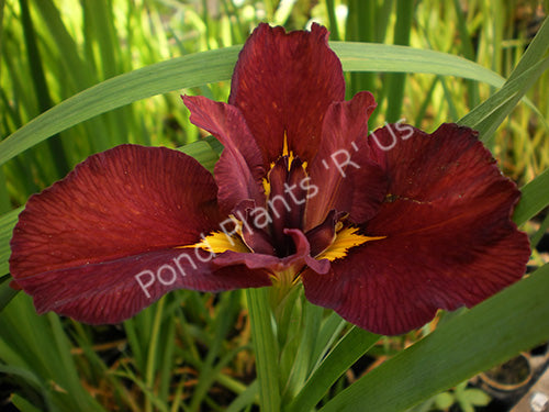 Red Velvet Elvis Louisiana Iris