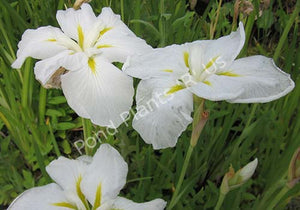 Anytus - White Hardy Japanese Iris