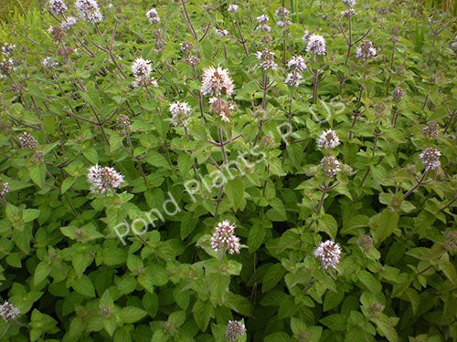 Aquatic Mint (Mentha aquatica) - Hardy Flowering Bog Plant