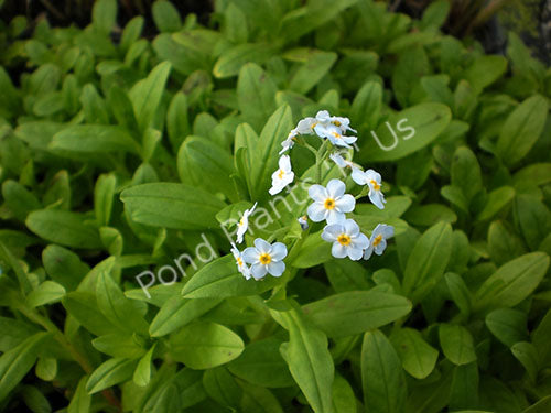 Aquatic Forget-me-not - Hardy Flowering Bog Plant