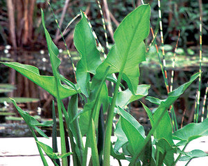 Arrow Arum (Peltandra Virginica) - Hardy Native Bog Plant