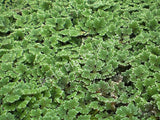 Azolla - Floating plant makes good fishfood