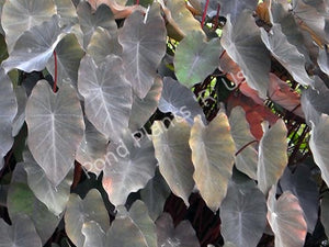 Black Taro (Colocasia esculenta 'Black Magic') - Elephant Ear
