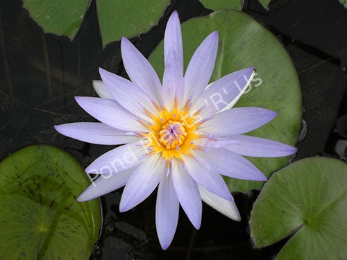 Nymphaea Blue Beauty - Blue Tropical Water Lily