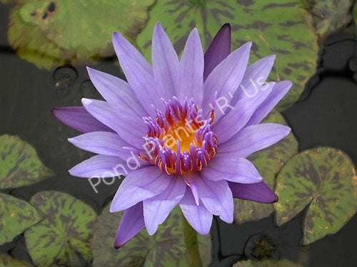 Nymphaea 'Blue Spider' - Blue Tropical Water Lily