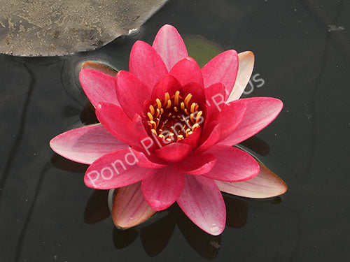Nymphaea Burgundy Princess - Hardy Red Water Lily