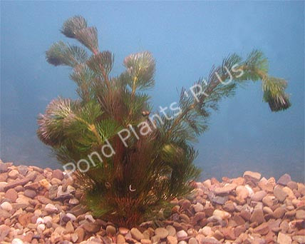 Purple leaf Cabomba (Cabomba pulcherrima)  - Submerged Pond Plants