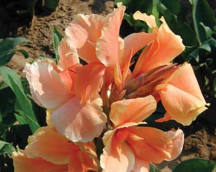 Tropical Sunrise Canna
