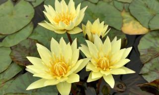 Carla's Sonshine Yellow Tropical Water Lily
