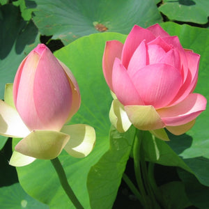 Nelumbo Carolina Queen - Large Pink Hardy Water Lotus