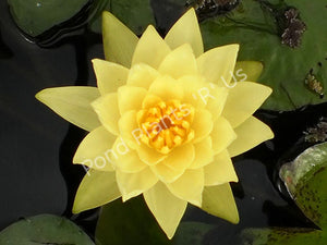 Chromatella - Yellow Hardy Water Lily