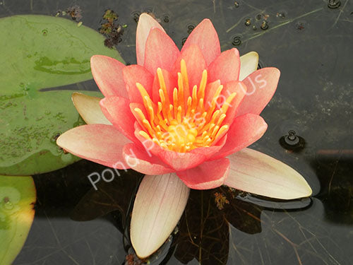 Comanche - Changeable Hardy Water Lily