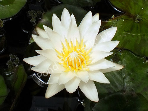 Crystal - White Tropical Water Lily