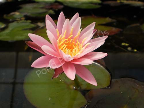 Nymphaea Dallas - Pink Hardy Water Lily