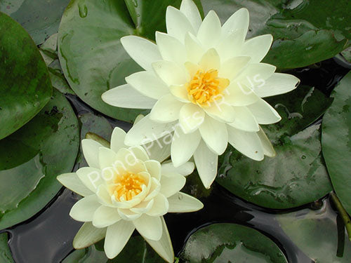 Denver - Creamy White Hardy Water Lily