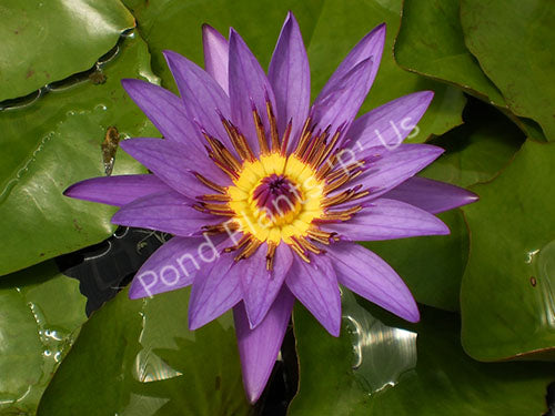 Director Moore - Purple Tropical Water Lily