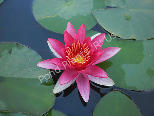 Escarboucle (Aflame) - Red Hardy Water Lily