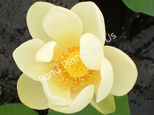 Giant Sunburst - Hardy Yellow Water Lotus