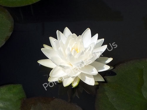 Nymphaea 'Gonnere' - White Hardy Water Lily
