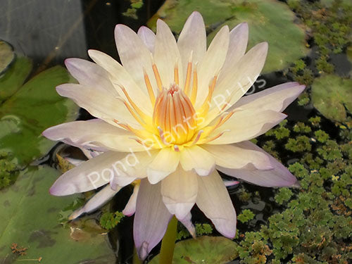 Nymphaea 'Green Smoke' - Green/Blue Tropical Water Lily