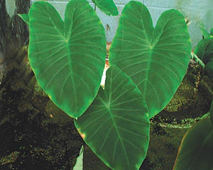 Green Taro - Tropical Bog Plant - Elephant Ears