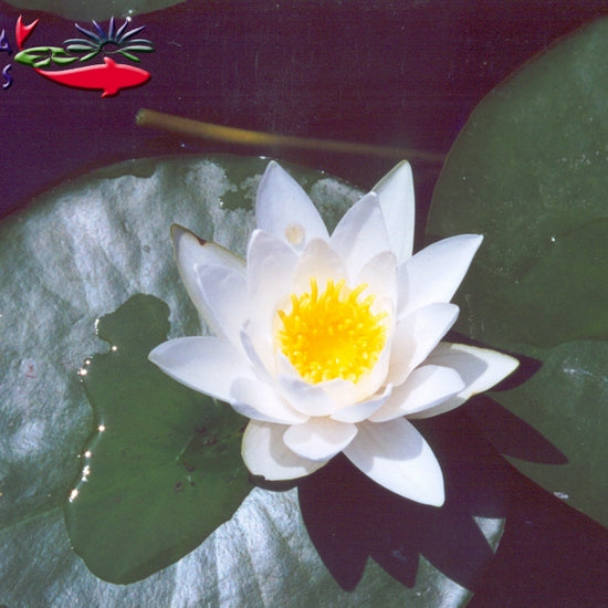Hermine - White Hardy Water Lily