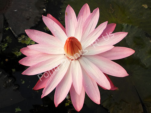 Mrs. George C. Hitchcock - Pink Night Blooming Water Lily